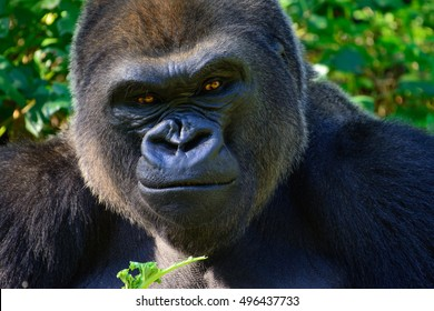 Male Silverback Western Lowland Gorilla Smiles as he eats his breakfast.