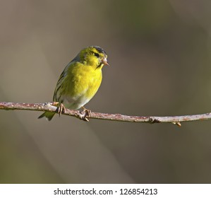 Male Siskin perched on a branch.