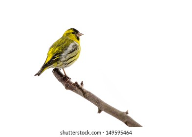 Male siskin sitting in a tree isolated on white background