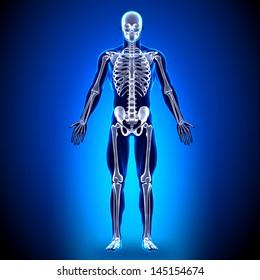 Male Skeleton - Anatomy Bones