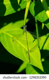 Male Slender Spreadwing Damselfly perched on a leaf pod. Rouge National Urban Park, Toronto, Ontario, Canada.