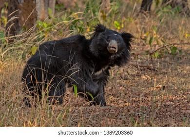 Male Sloth Bear in Satpura NP India