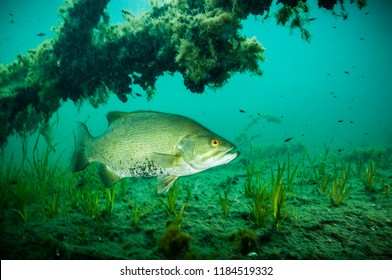 Male Smallmouth Bass protecting nest and it's young fishes in the St. Lawrence River