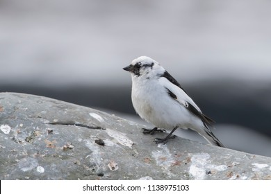 Male Snow Bunting on Grimsey Iceland Iceland