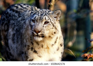 a male snow leopard in the forest