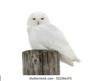 Male Snowy Owl on White Background, Isolated