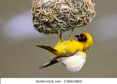 A male southern masked weaver building a nest of green grass