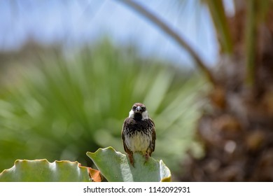 Male spanish sparrow (Passer hispaniolensis) looking at the camera with a misaligned beak, perched on the leaf of a green succulent in Porto Santo, Portugal