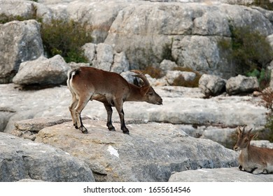 A male Spanish wild goat (capra pyrenaica hispanica) is wooing a female one during the rutting season; El Torcal de Antequera, Spain, Europe