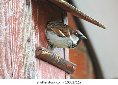 A male sparrow (passer domesticus) leaving a next box. Photo taken in the UK.