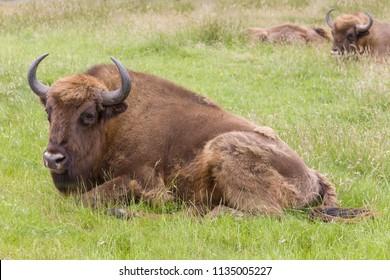 Male species of the European Bison in grasslands