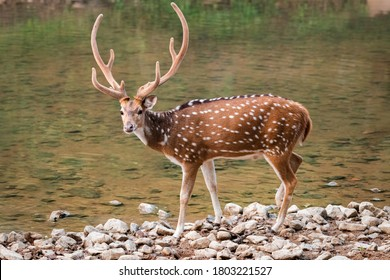 A male Spotted Deer (Axis axis), also called the Chital and native to the Indian subcontinent seen here in the wild and by a stream at the Ranthambore Tiger Reserve in Rajasthan in India.