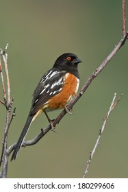 A male spotted towhee perches atop a small bush to guard his territory.