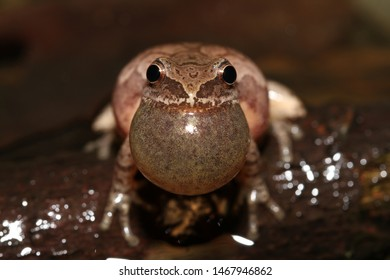 A male Spring Peeper calls while his vocal sac is inflated.  The vocal sac helps the male quickly refill his lungs so that he can call more rapidly.