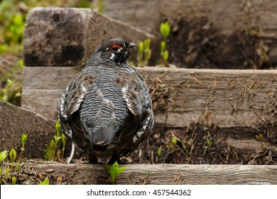 Male Spruce Grouse walking up a set of stairs.