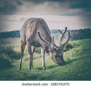 Male of the Sri Lankan sambar deer