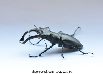 Male stag beetle (Lucanus cervus) on the white background. Stag beetle Lucanus cervus, the largest european beetle, an endangered species