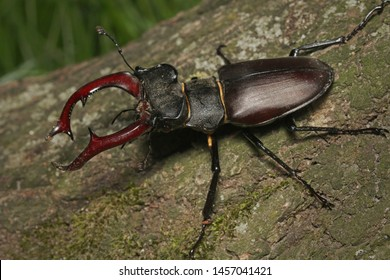 Male of the stag beetle on a close up picture in its natural environment - sitting on oak tree. A rare and endangered beetle species with large mandibles, occurring in Europe.