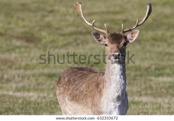 Male stag portrait