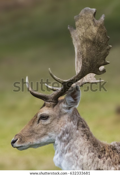 Male stag side head portrait