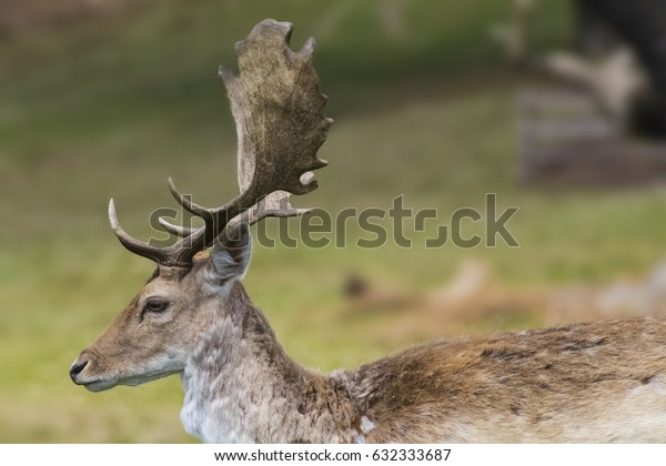 Male stag side portrait