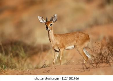 Male steenbok antelope (Raphicerus campestris), Kalahari desert, South Africa