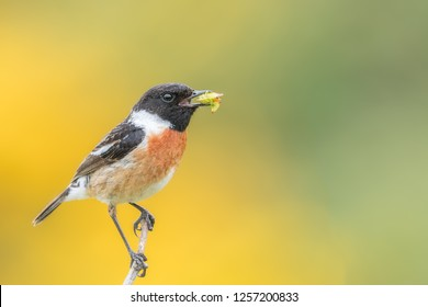 Male stonechat (Saxicola rubicola) with bugs in beak ready to feed to young. Yellow gorse flower background. Pembrokeshire, May.