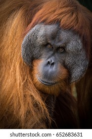 A male Sumatran Orangutan at Adelaide Zoo.  Sumatran Orangutans are critically endangered in the wild due to deforestation for palm oil plantations.
