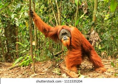 Male Sumatran orangutan (Pongo abelii) standing on the ground in Gunung Leuser National Park, Sumatra, Indonesia. Sumatran orangutan is endemic to the north of Sumatra and is critically endangered.