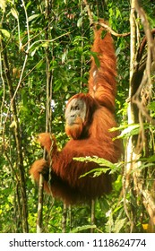 Male Sumatran orangutan (Pongo abelii) hanging in trees in Gunung Leuser National Park, Sumatra, Indonesia. Sumatran orangutan is endemic to the north of Sumatra and is critically endangered.