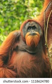 Male Sumatran orangutan (Pongo abelii) sitting in a tree in Gunung Leuser National Park, Sumatra, Indonesia. Sumatran orangutan is endemic to the north of Sumatra and is critically endangered.