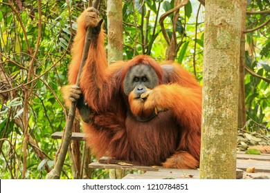 Male Sumatran orangutan (Pongo abelii) sitting on a platform in Gunung Leuser National Park, Sumatra, Indonesia. Sumatran orangutan is endemic to the north of Sumatra and is critically endangered.