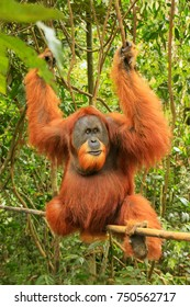 Male Sumatran orangutan (Pongo abelii) sitting on a bamboo in Gunung Leuser National Park, Sumatra, Indonesia. Sumatran orangutan is endemic to the north of Sumatra and is critically endangered.