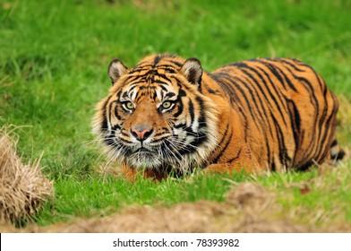 Male Sumatran tiger hiding in ambush while stalking its prey moments before the attack.