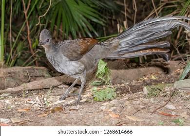 Male Superb Lyrebird