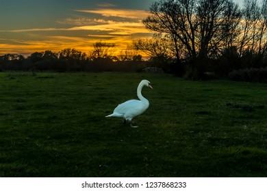 A male swan on the river meadow of the river Stour at sunset on the edge of Sudbury, Suffolk