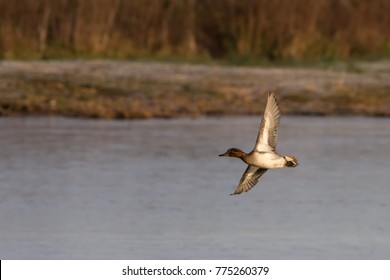 Male Teal Duck (Anas crecca) in flight, United Kingdom