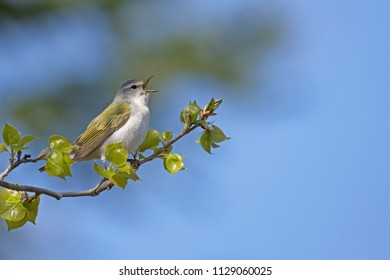 A male Tennessee warbler singing to establish it's breeding territory and attract a female in early spring.