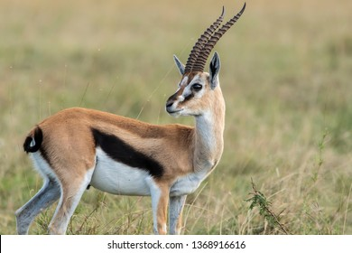 A male thompson gazelle looking back at the approaching lions herd in the plains of Africa inside Masai Mara national reserve during a wildlife safari