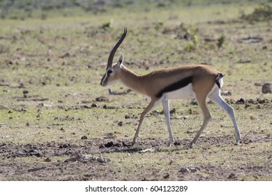 The male of Thompson's gazelle who walks on a dry savanna on a hot day