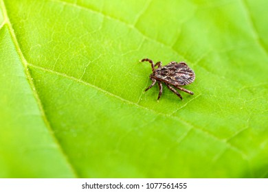 Male Tick Meadow (Dermacentor reticulatus)
