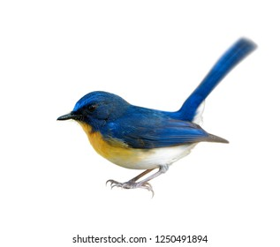 Male of  Tickell's blue flycatcher (Cyornis tickelliae) beautiful bird with orange chest and white belly with long tail wagging solated on white background details from head to toes