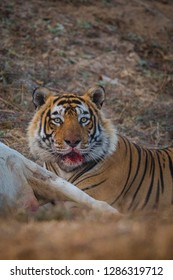 A male tiger after hunt the prey. Blood on his face at Ranthambore National Park, India