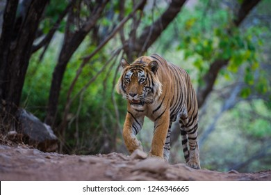 A male tiger on evening stroll and territory marking at ranthambore tiger reserve, India