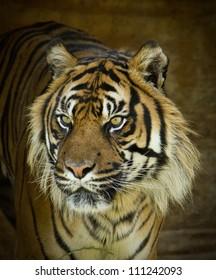 Male Tiger Panthera Tigris close up of face