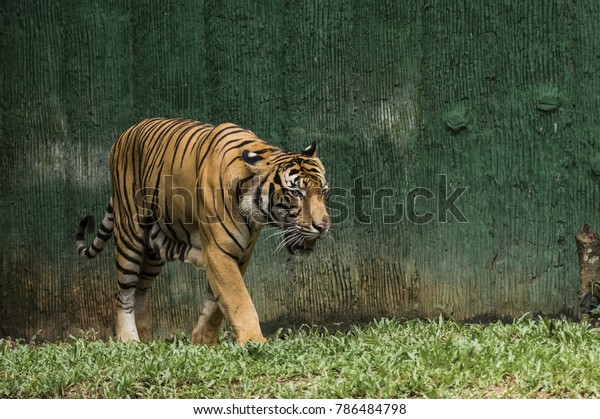 Male Tiger Roaming Limited Space Mini Stock Photo (Edit Now