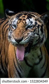 Male tiger snarling dramatic pose
