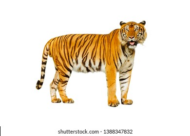 The male tiger is in a white background.