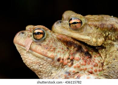 A male toad rides on the back of a female during mating season.