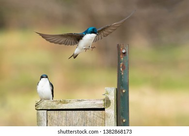 Male Tree Swallow coming in for a landing at a nest box with a female watching him. Colonel Samuel Smith Park, Toronto, Ontario, Canada.